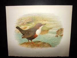 Butler, Frohawk & Gronvold 1908 Antique Bird Print. Creeper 36
